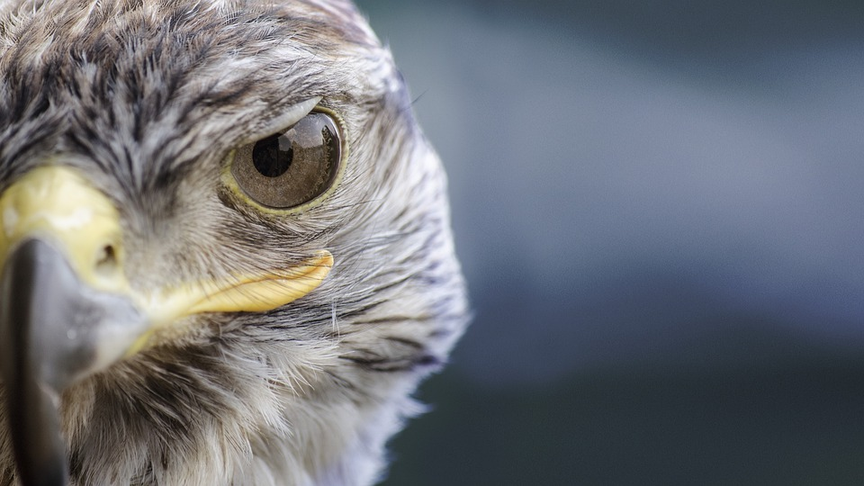 Bird, Falcon, Nature, Beak, Predator, Wild, Game Birds
