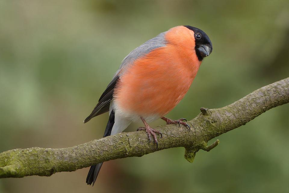 Bird, Bullfinch, Males, Garden, Road, Foraging, Close