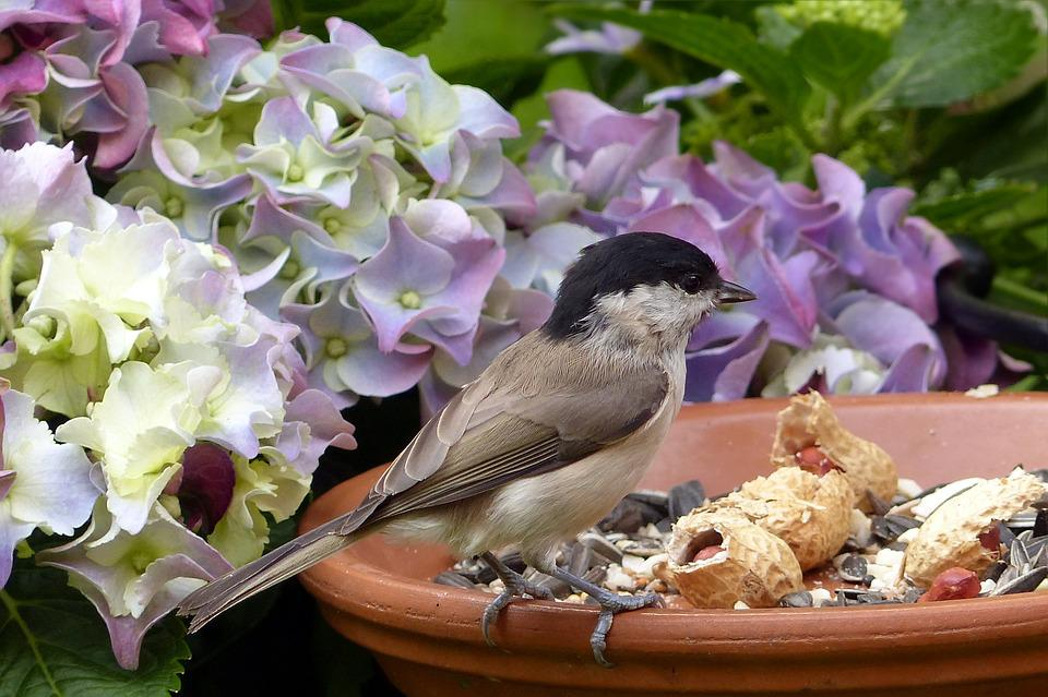 Bird, Marsh Tit, Parus Palustris, Feeding Place, Garden