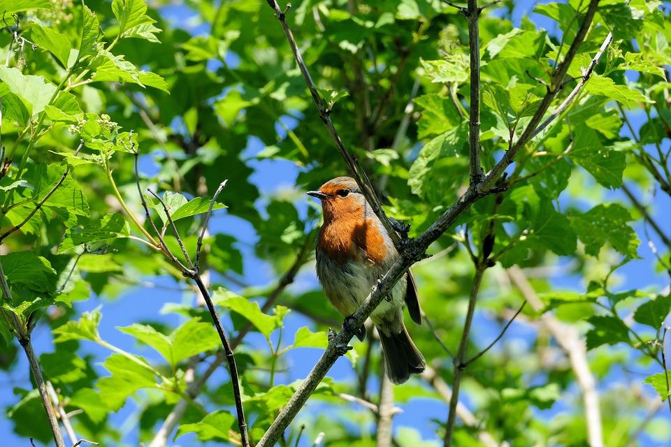 Robin, Garden, British, Bird, Songbird, Nature, Small