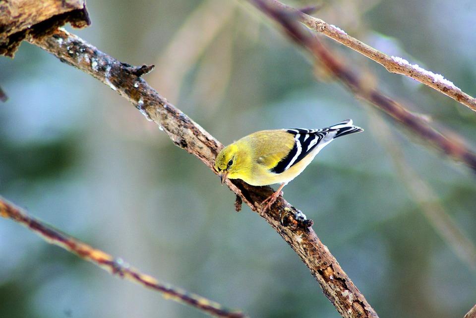 Goldfinch In Ozark Winter, Finch, Bird, Feathers