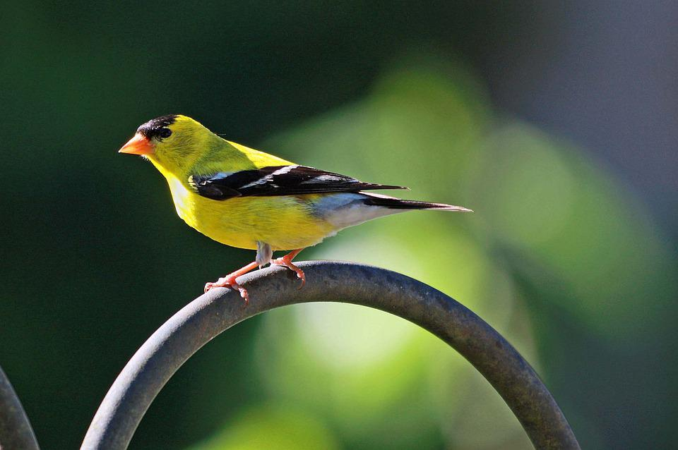 Goldfinch, Bird, Perched, Animal, Plumage, Feathers