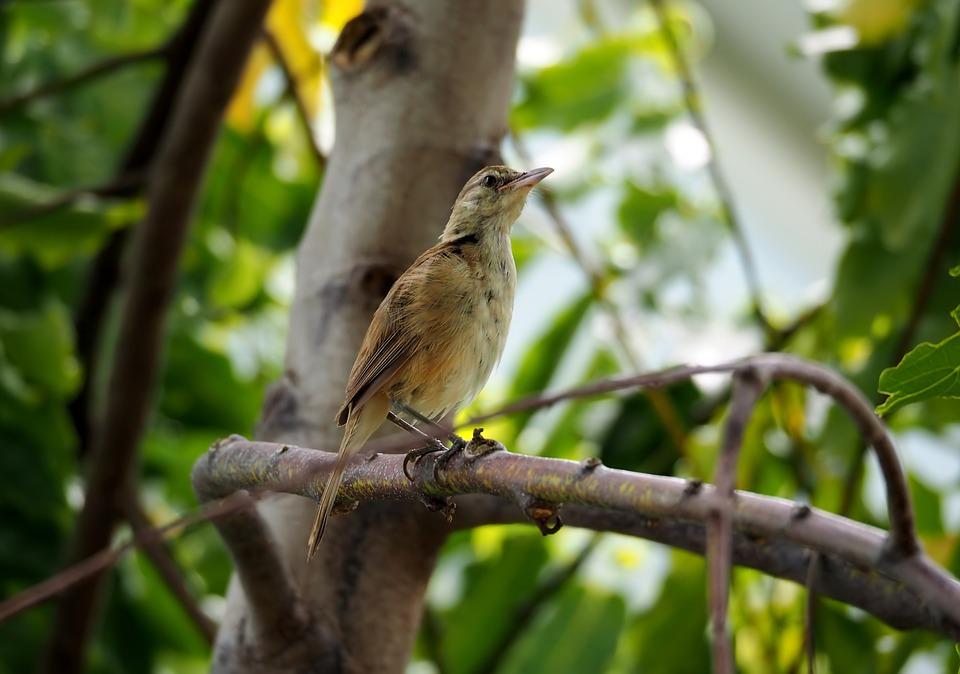 Local Grass Bird Juvenile, Grass, Bird, Wild, Wildlife