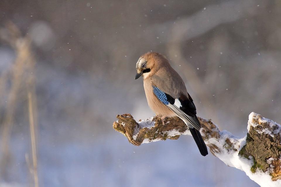 Jay, Bird, Animal, Perched, Gray Animals, Gray Birds