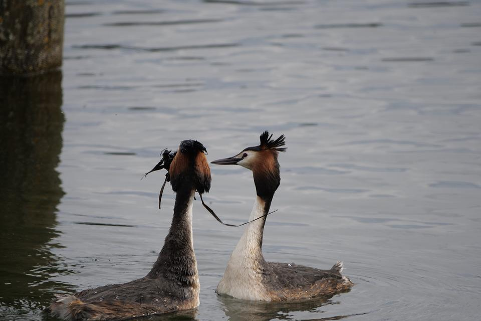Waters, Bird, Animal World, Lake, Great Crested Grebe