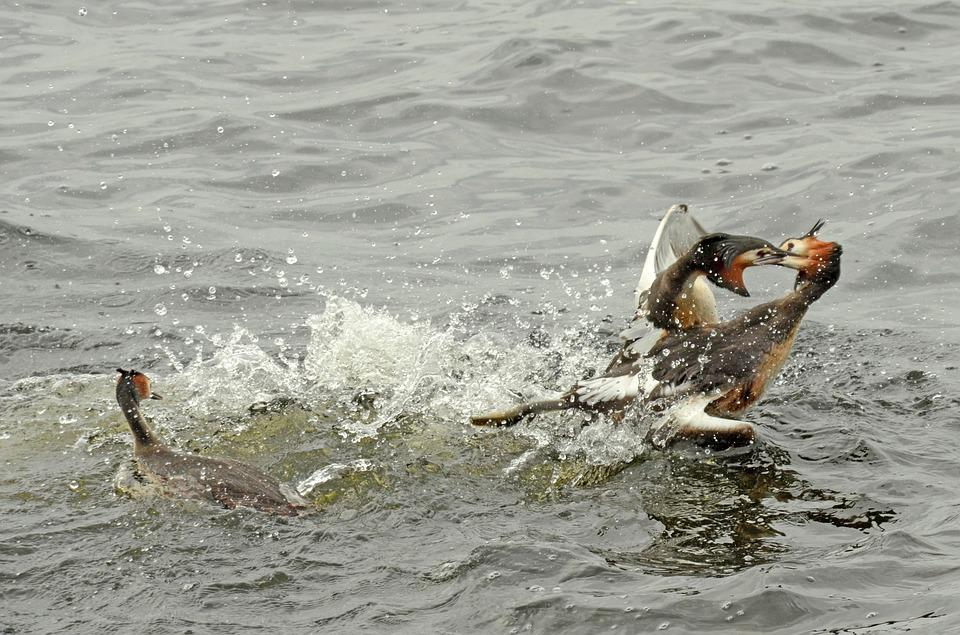 Grebe, Bird, Waterfowl, Torque, Couple, Fighting