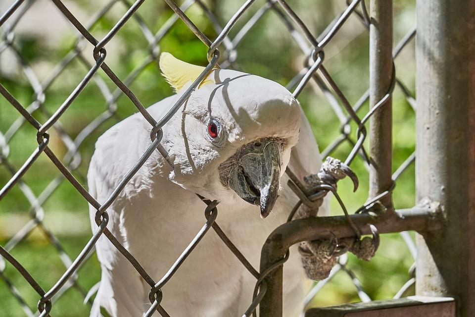 Cockatoo, Grid, Bird, Imprisoned, Zoo, Scream, Papage