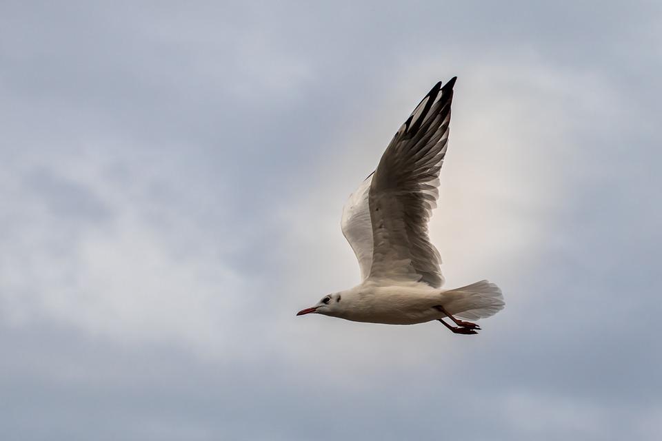 Seagull, Gull, Flying, Flight, Plumage, Seabird, Bird