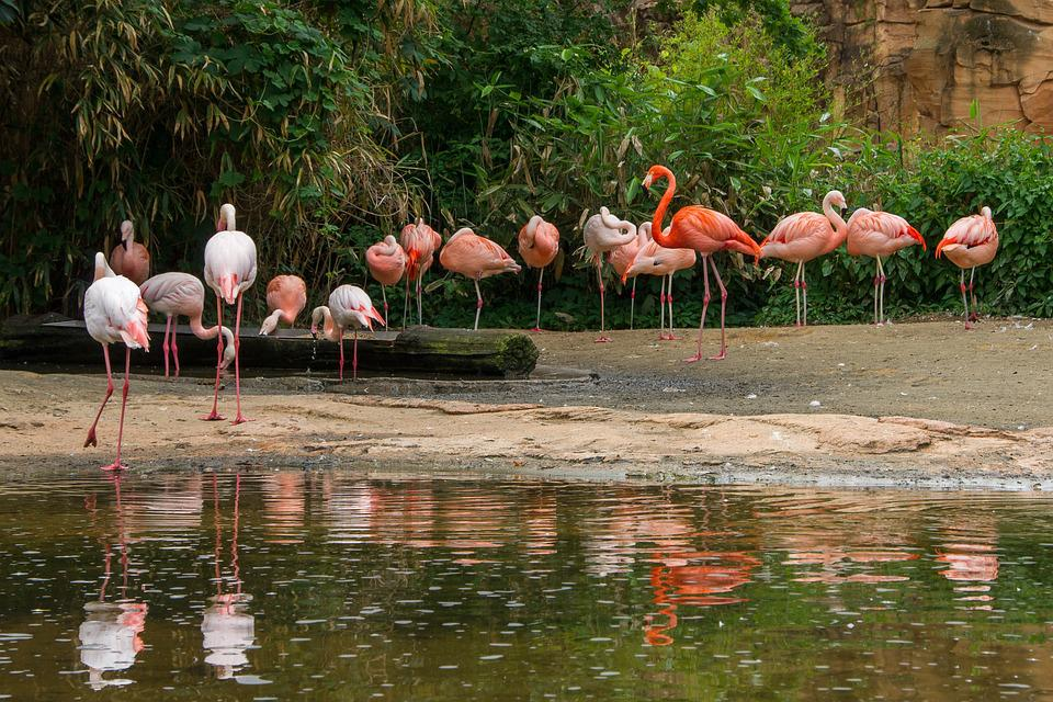 Flamingo, Bird, Nature, Waters, Tropical, Zoo, Hanover