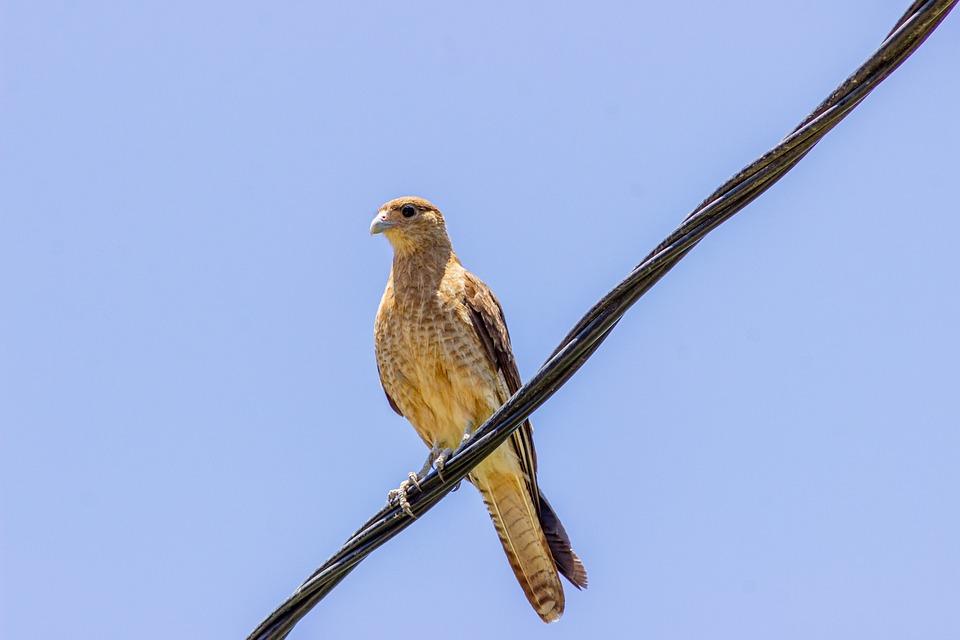 Harrier, Bird, Perched, Animal, Circinae, Plumage