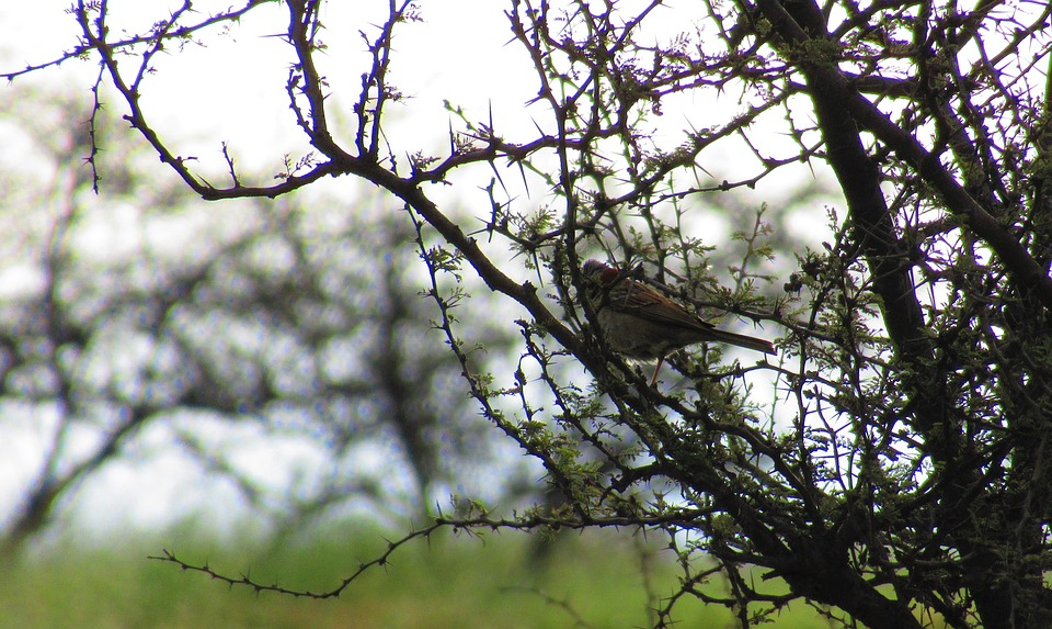 Ave, Nature, Hawthorn, Bird