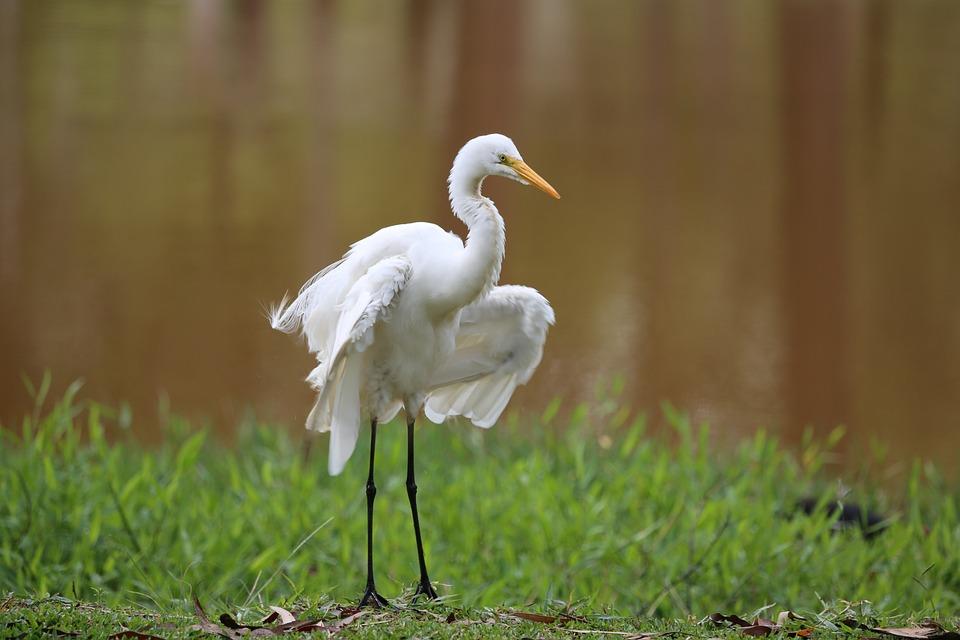 Heron, White, Great, Bird, Wild, Natural Habitat