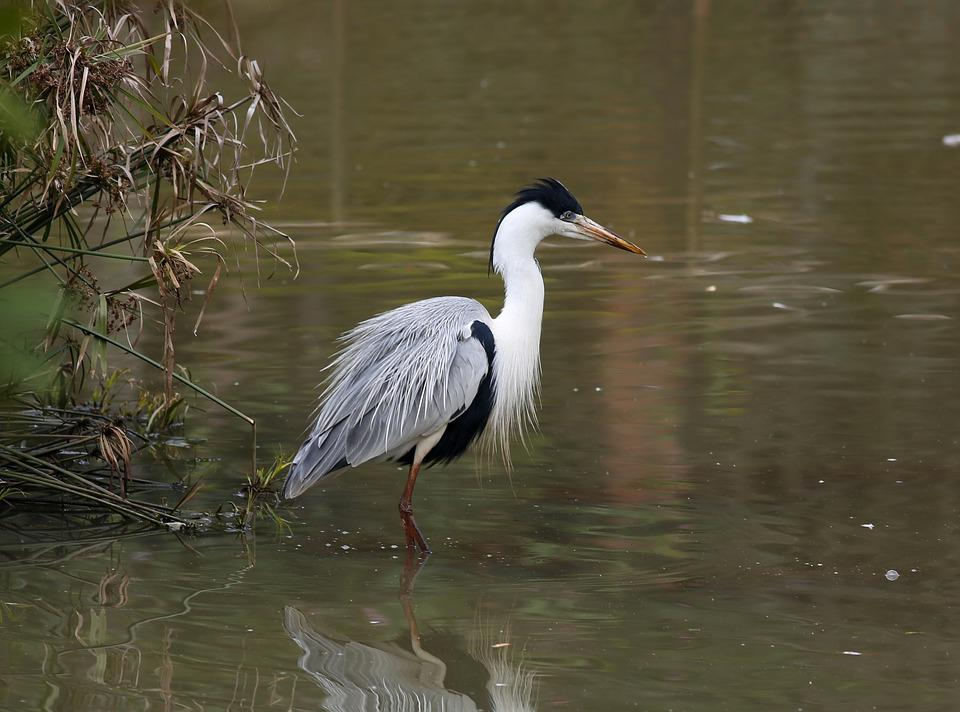 Heron, Brown, In The Lake, Bird, Great, Wild