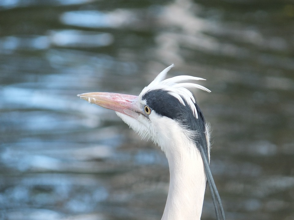 Heron, Bird, Wildlife, Nature