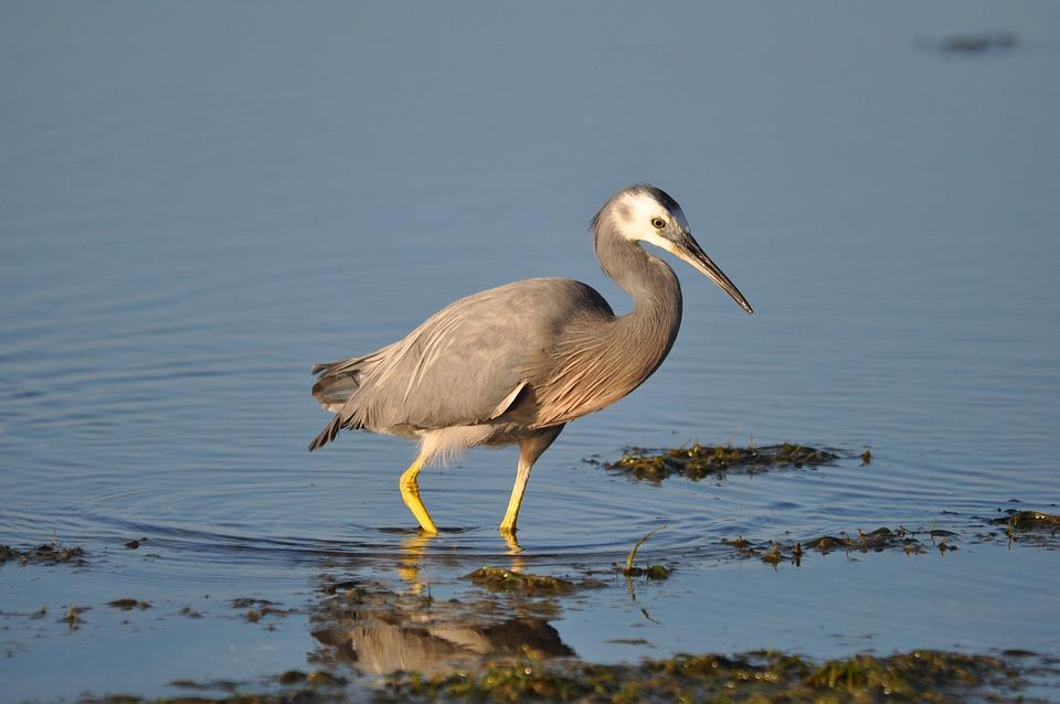 White-faced Heron, Bird, Lake, Heron, Animal, Wildlife