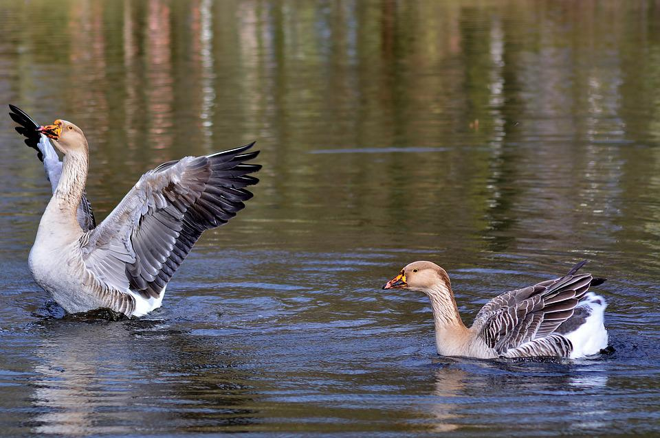 Höcker Goose, Bird, Waters, Animal World, Wing