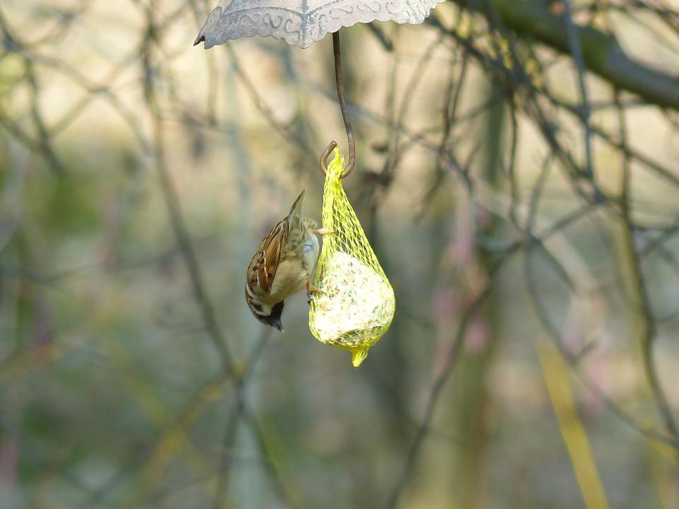Sparrow, Sperling, House Sparrow, Bird