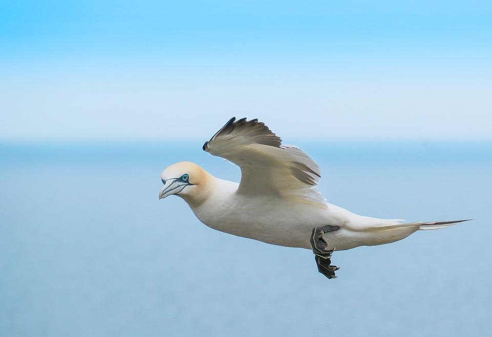 Gannett, Bird In Flight, Yorkshire, Bird, Flying