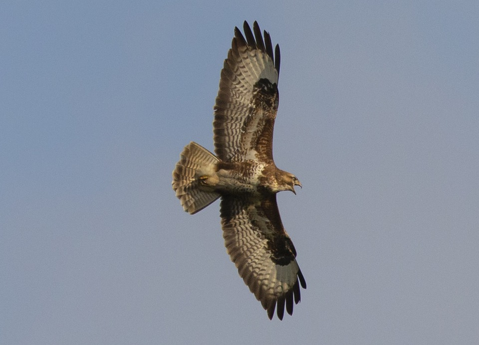 Buzzard, Buzzard Flying, Soaring, Bird In Flight