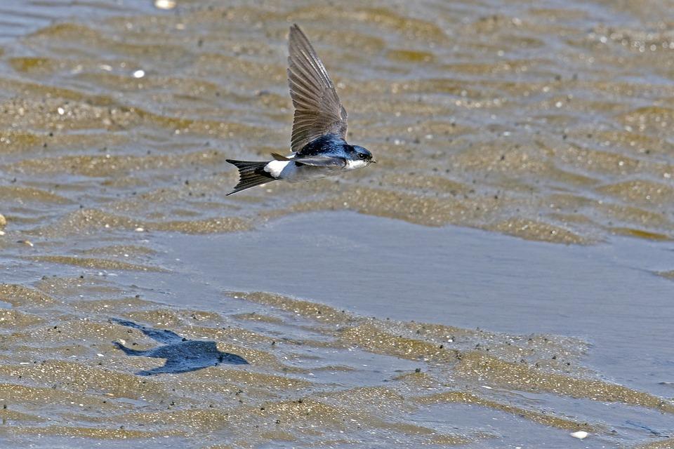 Martin, Swallow Flying, Bird In Flight