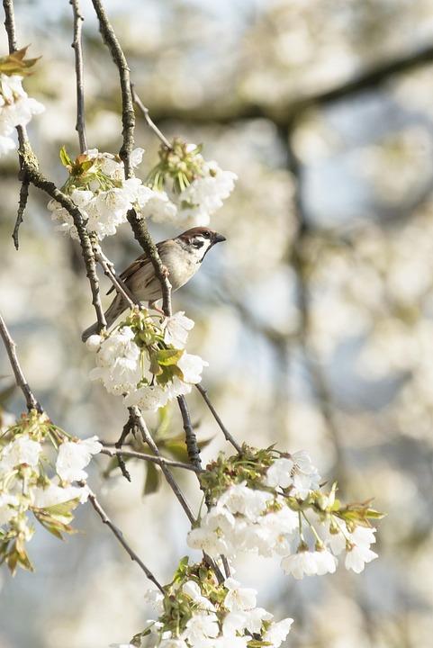 Sperling, Bird, Bird In Tree, Cherry Tree