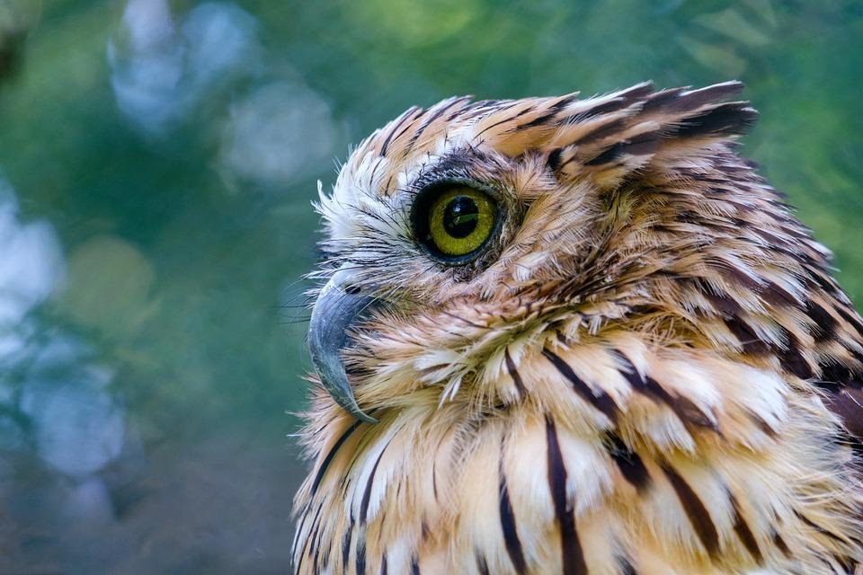 Owl, Eagle Owl, Bengalenuhu, Indian Eagle Owl, Bird