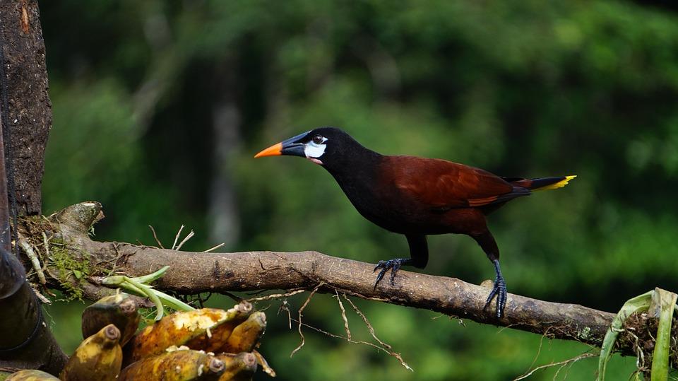 Montesuma Oropendola, Bird, Jungle, Costa Rica