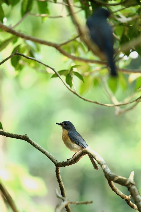 Kerala, India, Tickell's Blue Flycatcher, Pair, Bird