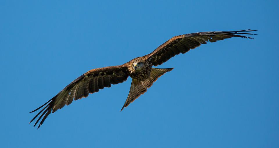 Kite, Black, Predator, Bird, Nature, Prey, Wild
