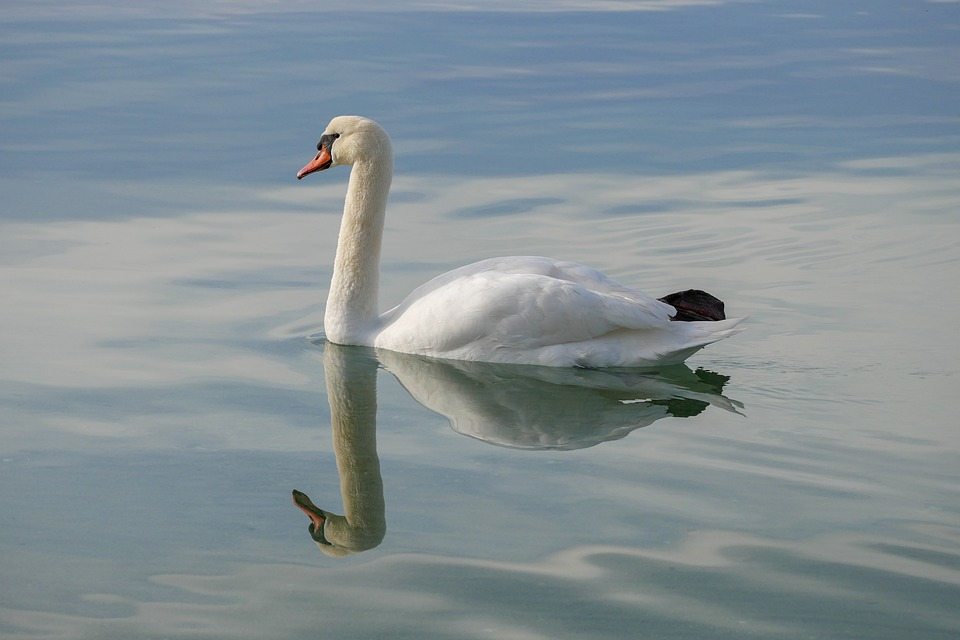 Bird, Body Of Water, Swan, Lake, No Person
