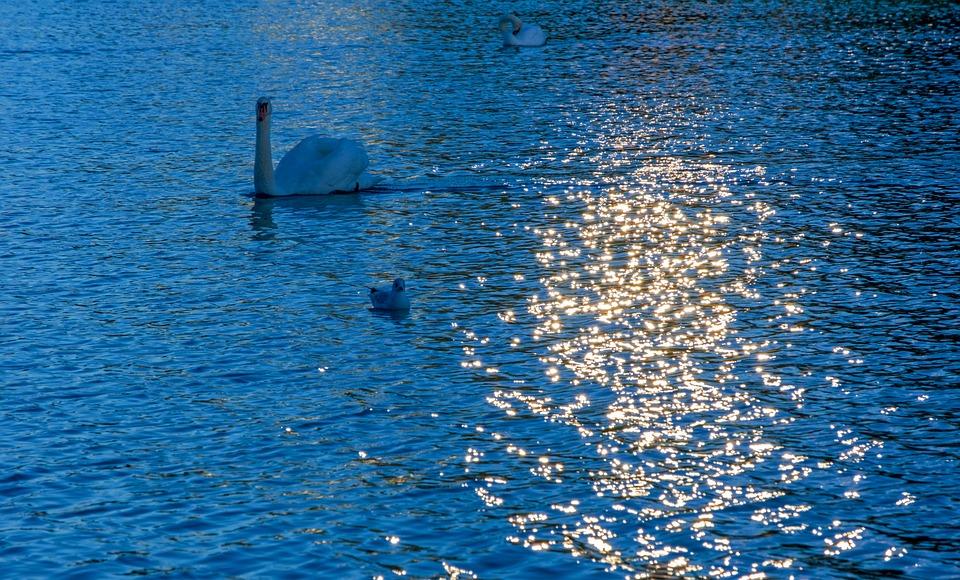 Water, Sun, Swan, Animal, Bird, Lake, Sparkle, Nature