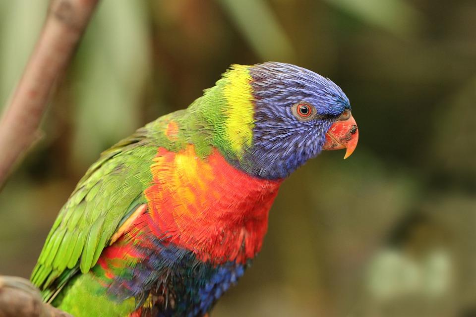 Bird, Lorikeet, Parrot, Birds, Animals, Fauna