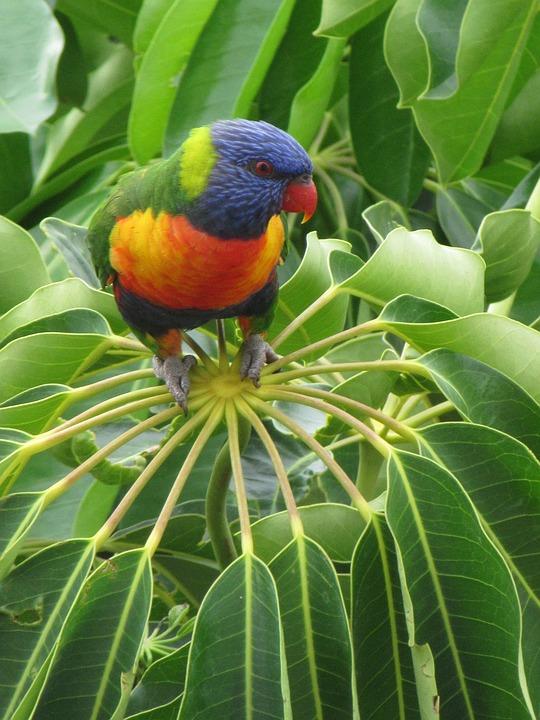 Lorikeet, Bird, Beauty, Nature, Colourful, Australian