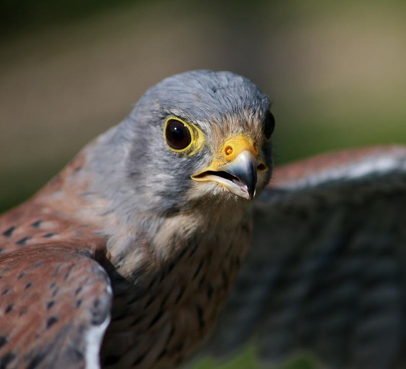 Male Kestrel, Kestrel, Male, Predator, Bird