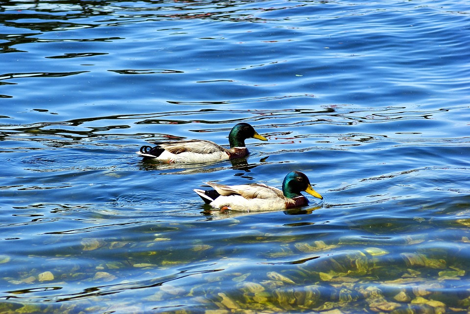 Mallards On Lake Mendota, Ducks, Mallard, Duck, Bird