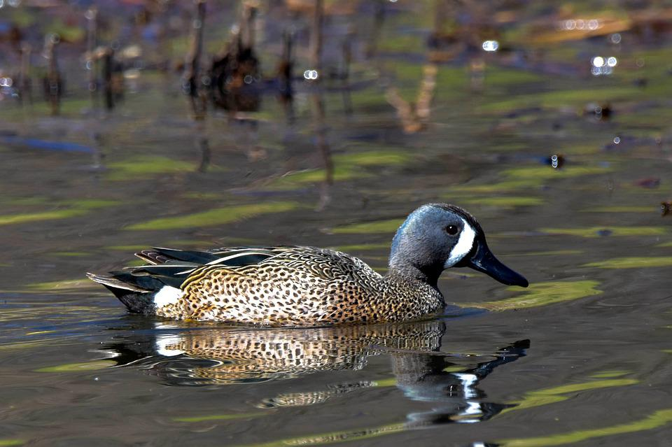 Blue-winged Teal, Duck, Marsh, Bird, Waterfowl