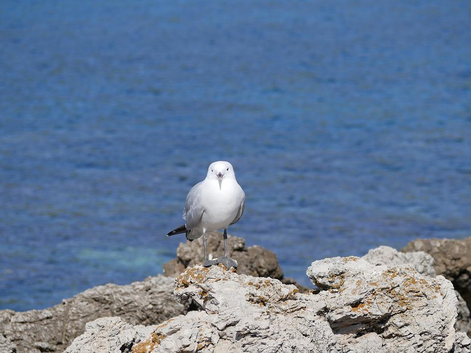 Seagull, Sea, Mediterranean, Bird, Animal, Nature