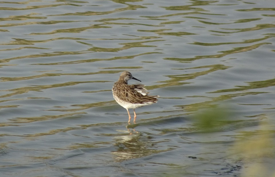 Bird, Ruff, Calidris Pugnax, Medium-sized, Gregarious
