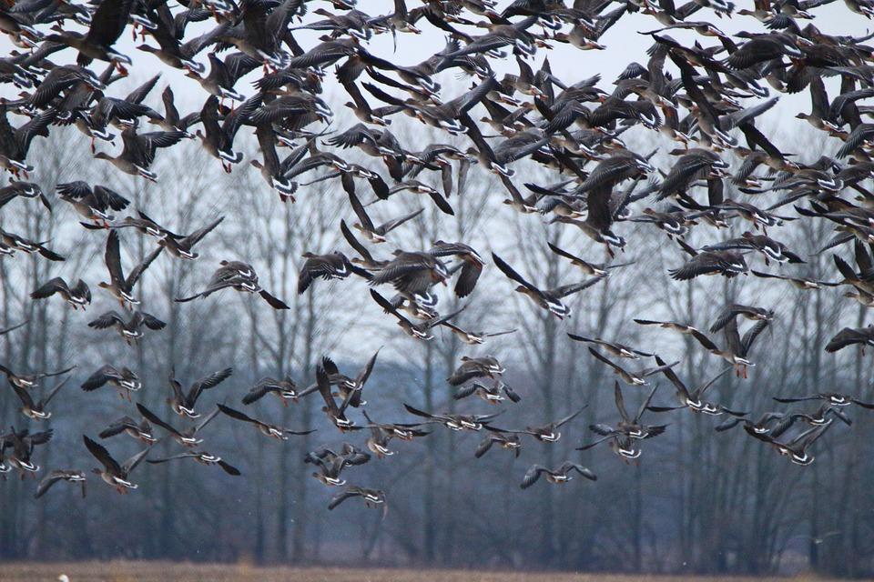 Wild Goose, Geese, Bird, Flock Of Birds, Migratory Bird