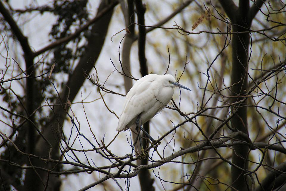 Bird, Egret, Natural, Animal, Ecology, Twig, Forest