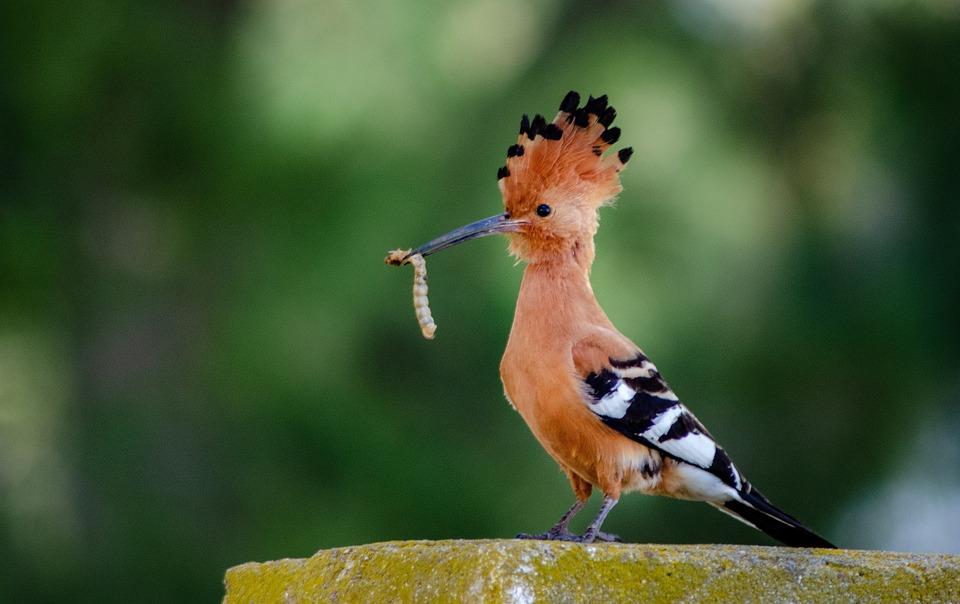 Hoopoe, African, Bird, Plumage, Nature, Wildlife