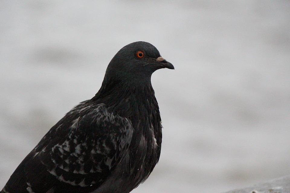 Dove, Bird, Bird Pigeon, Birds, Feather, Animal, Nature