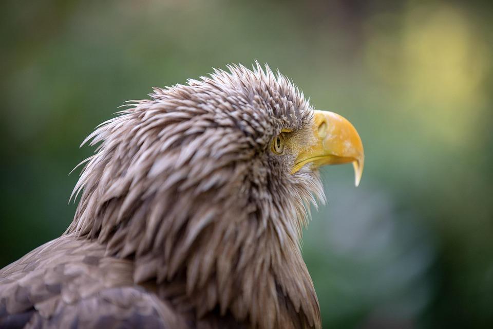 Adler, Animal, Bird, Nature, Feather, Plumage, Close Up
