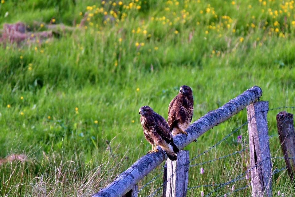 Buzzard, Common Buzzard, Bird Of Prey, Bird, Nature