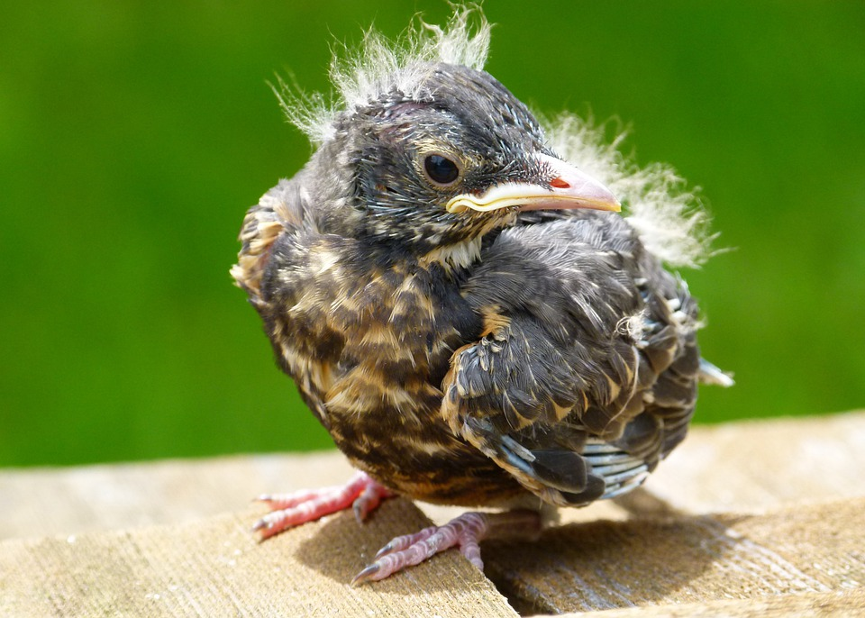 Red Robin, Chick, Young, Bird, Feathered, Nature