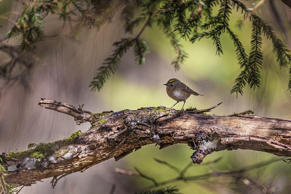 Goldcrest, Regulus Regulus, Bird, Nature, Wildlife