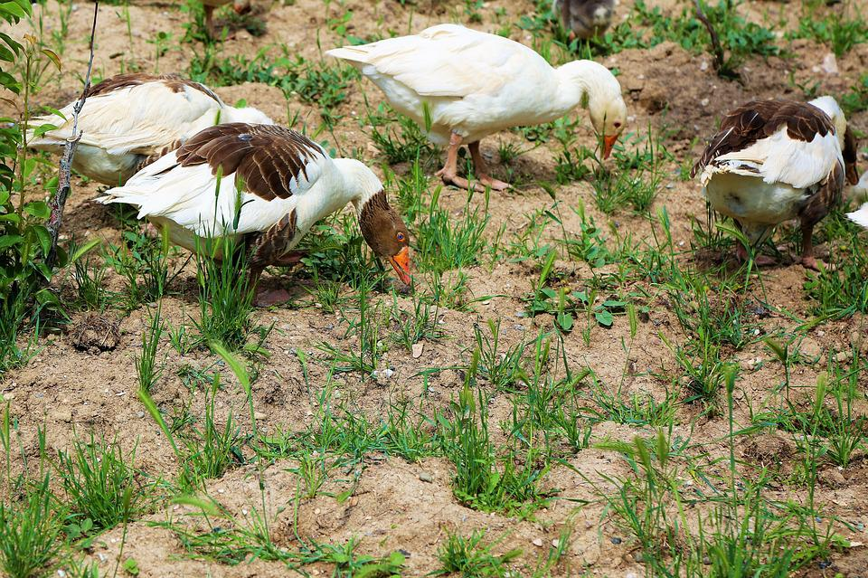 Goose, Animal, Nature, Bird, Wing, Feathers, Spread