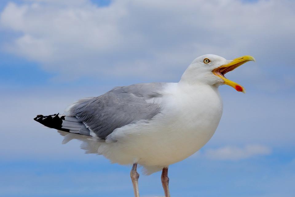 Gull, Bird, Scream, Bill, Nature, Sky, Coast