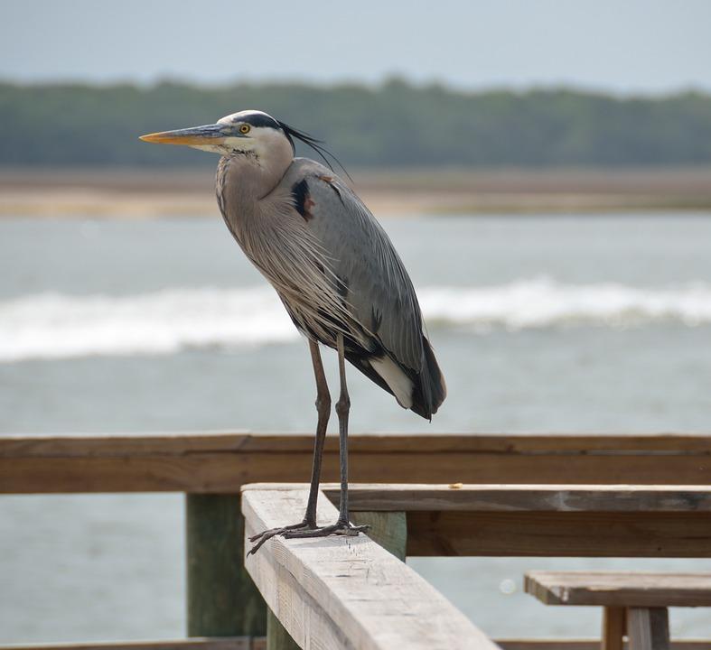 Great Blue Egret, Heron, Bird, Egret, Nature, Blue