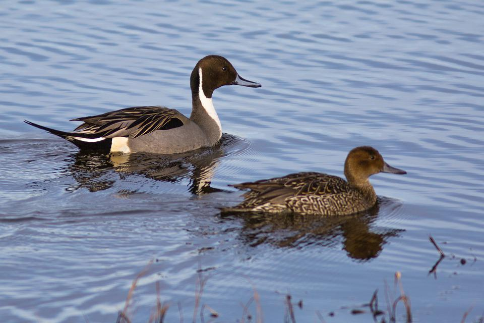 Duck, Bird, Pool, Lake, Nature